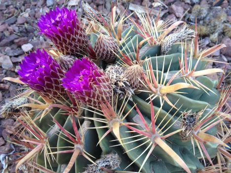 The Horse-Crippler Cactus